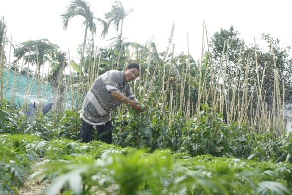 Ngư dân trồng hoa tết trên đảo Lý Sơn ảnh 3