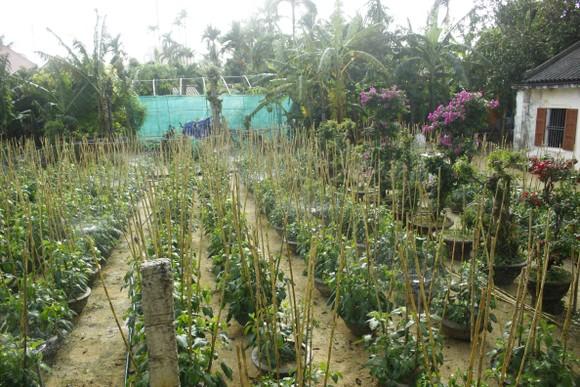 Ngư dân trồng hoa tết trên đảo Lý Sơn ảnh 2