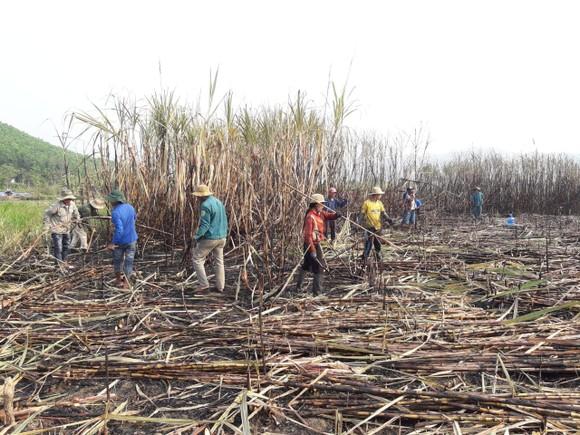 Thanh niên giúp dân thu hoạch mía bị lửa thiêu rụi  ảnh 4