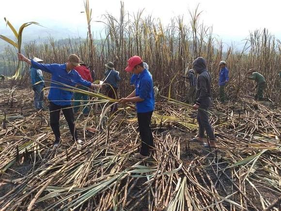 Thanh niên giúp dân thu hoạch mía bị lửa thiêu rụi  ảnh 3