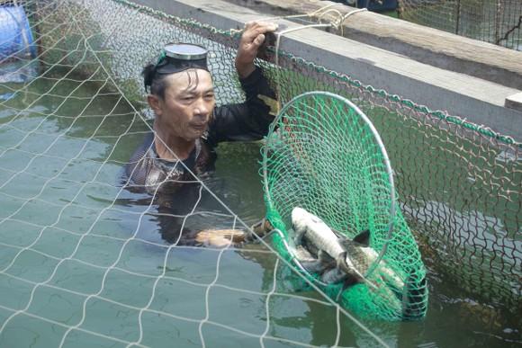 Quảng Ngãi yêu cầu chấm dứt nuôi cá lồng bè tự phát ở khu vực biển và sông Trà Bồng ảnh 2