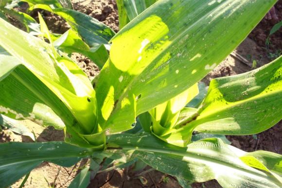 'Kẻ hủy diệt' sâu keo mùa thu gây hại cây bắp ở Quảng Ngãi ảnh 2