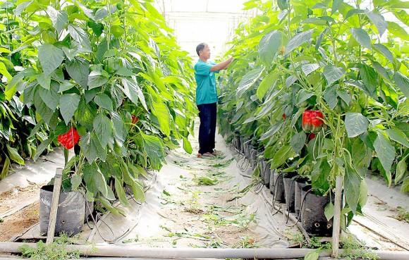 Phương pháp tưới nhỏ giọt đang được nhiều nhà vườn ở Lâm Đồng áp dụng