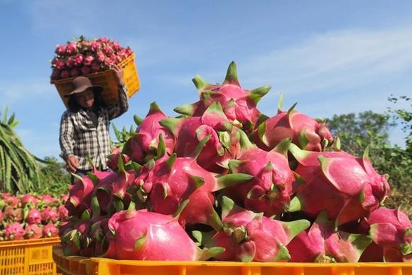 截至昨(22)日上午,每公斤火龍果僅為1萬至1萬2000元,比一週前的售價下跌逾七成。(圖源:VOV)