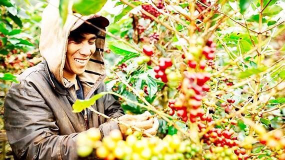 咖啡部門預測,供過於求致出口量遞減。