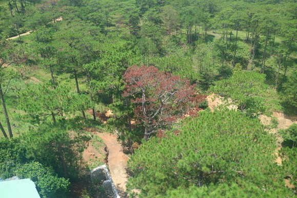 Hàng loạt cây thông ở Đà Lạt bị 'bức tử' trong khu dân cư ảnh 10
