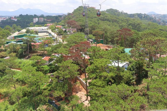 Hàng loạt cây thông ở Đà Lạt bị 'bức tử' trong khu dân cư ảnh 4