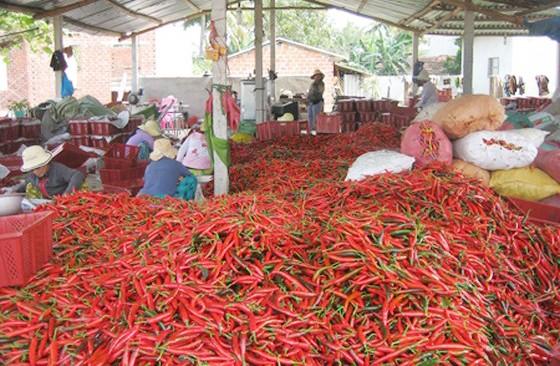 Ớt của Việt Nam bị Malaysia cấm nhập khẩu vì nhiều lô nhiễm thuốc bảo vệ thực vật ảnh 1