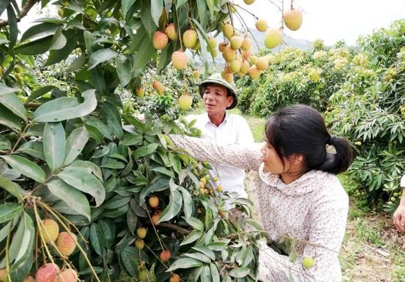 Vải Việt Nam 'vui' vì vải Trung Quốc mất mùa, giá cao ảnh 1