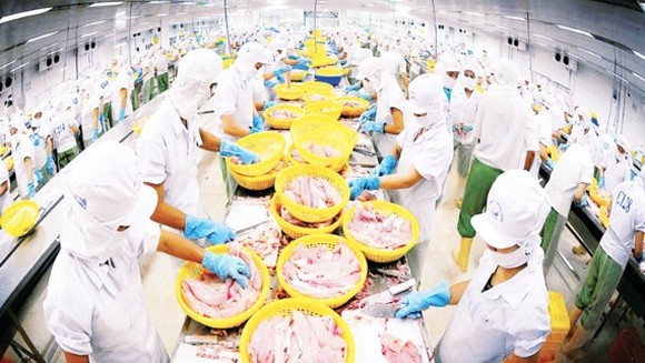 Workers processing pangasius fish for export (Photo: SGGP)