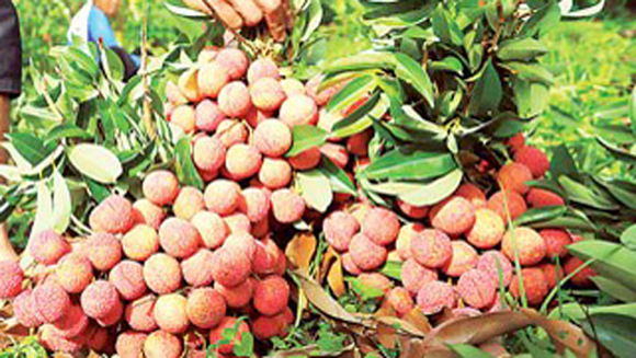 Vietnamese litchi has been exported to Australia (Photo: SGGP)