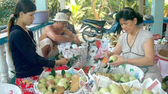 Farmers harvest star apple in the Mekong Delta