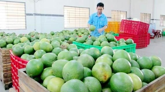Green peel pomelo has been favorite export item (Photo: SGGP)