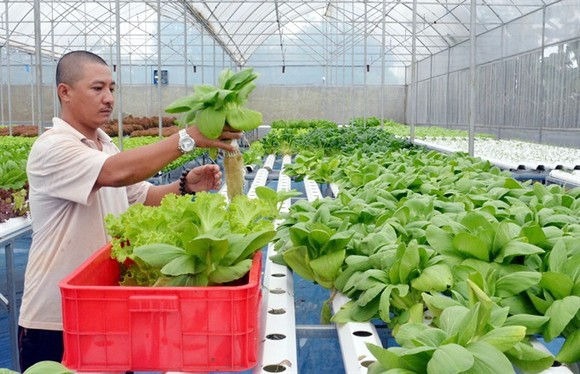 A farmer harvests hydroponic vegetables grown in a hothouse in Buon Ma Thuot in the Central Highlands province of Dak Lak. (Photo: VNA/VNS)