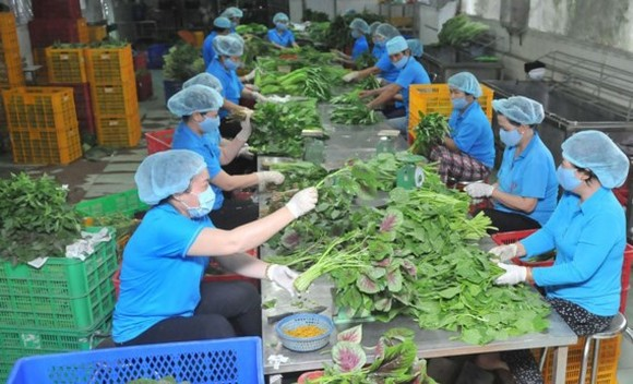 Workers processing vegetables for export at Phuoc An Cooperative (Photo: SGGP)