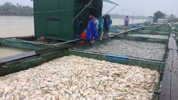 Typhoon Damrey causes complete loss to 25,957 seafood farming rafts. In the photo are fish rafts in the lower reaches of the Bo River, Thua Thien-Hue province (Photo: SGGP)