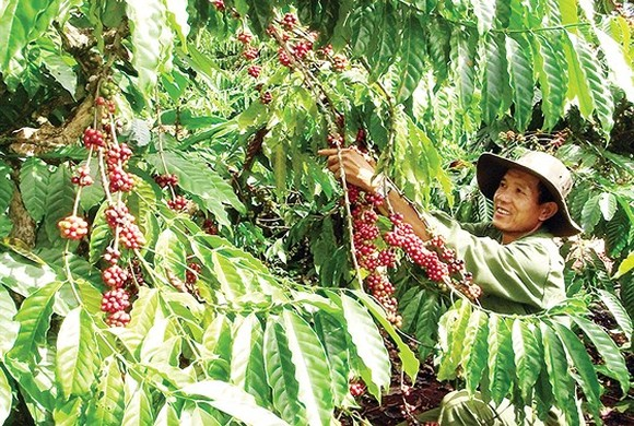 A farmer harvests coffee in the Central Highlands (Illustrative photo)