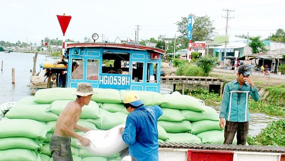 Traders purchase rice for export in the Mekong Delta (Photo: SGGP)