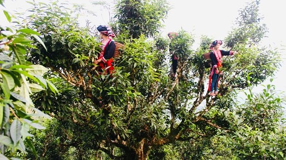 H'Mong ethnic women pick up tea leaves in an ancient tree in Ta Xua