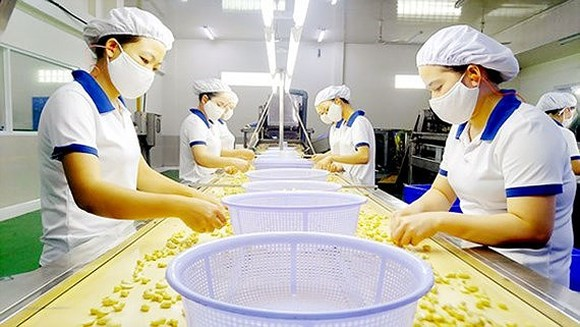 Workers process cashew nuts for export. (Photo: SGGP)