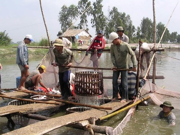 The prices of pangasius fish unexpectedly dropped, raising concern among pangasius fish farmers. (Photo: SGGP)