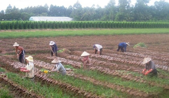 Farmers in Vinh Long shift to grow fast growing crop for higher economic results. (Photo: SGGP)