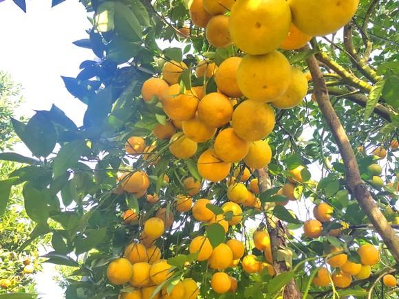 Cuốn hút trang trại cam trĩu quả ở Hà Tĩnh chờ xuất bán dịp Tết Nguyên đán ảnh 10