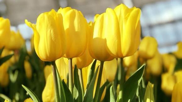 Lễ hội hoa tulip lớn nhất diễn ra tại Nha Trang