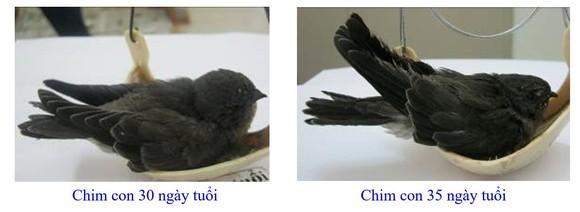 Phát triển bền vững nghề nuôi chim Yến tại Nam Trung bộ và Tây Nguyên ảnh 9