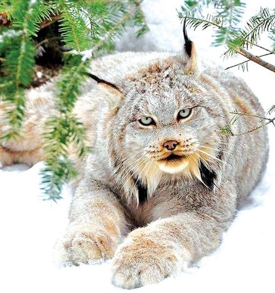 Động vật hoang dã Canada biến mất do biến đổi khí hậu