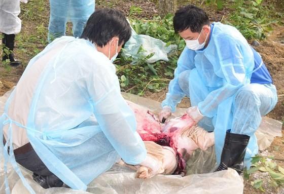 Lấy mấu xét nghiệm heo chết tại xã Phong Sơn, huyện Phong Điền, tỉnh Thừa Thiên - Huế
