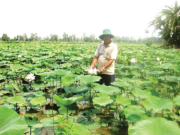 Local farmers plant lotus at rice field on the flood season