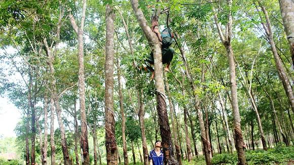 Hiểm nguy thường rình rập đối với công việc của người thợ rừng do luôn phải trèo lên cây