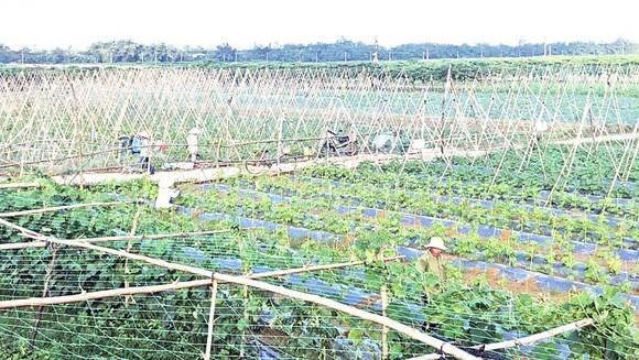 Vựa rau Bàu Tròn (huyện Đại Lộc) - một trong những dự án nông nghiệp công nghệ cao của tỉnh