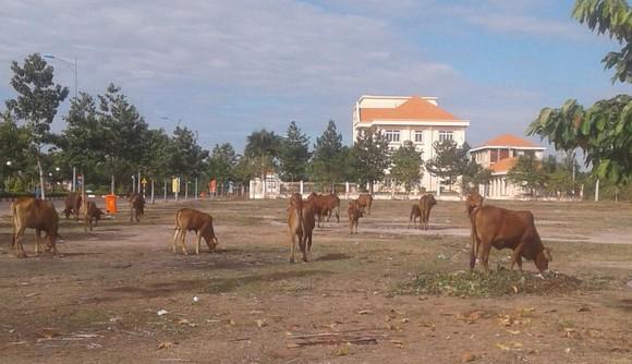 Chăn thả bò ở khu trung tâm hành chính huyện