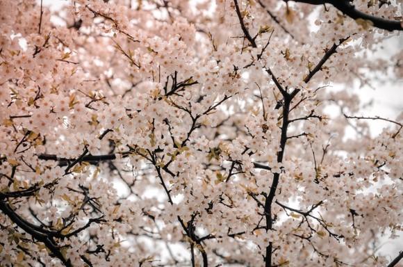 迷人的櫻花正吸引著不少遊客的目光。