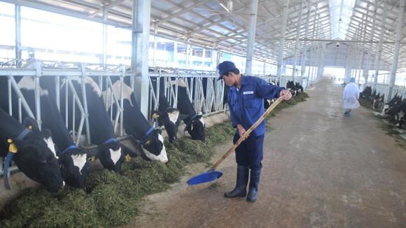 Nuôi bò sữa đạt chuẩn Organic chủ động nguồn nguyên liệu tại Vinamilk. Ảnh: CAO THĂNG