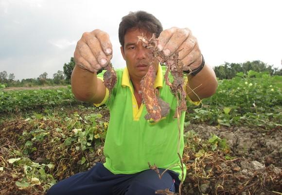 Nhiều ruộng khoai lang bị kẻ xấu phá hoại bằng thuốc diệt cỏ ảnh 1