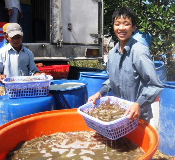 The prices of material shrimps in Mekong Delta provinces have climbed again. (Photo: SGGP)