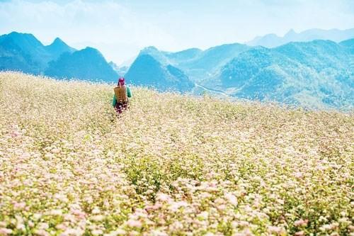 Tam Giac Mach flower festival in Lao Cai