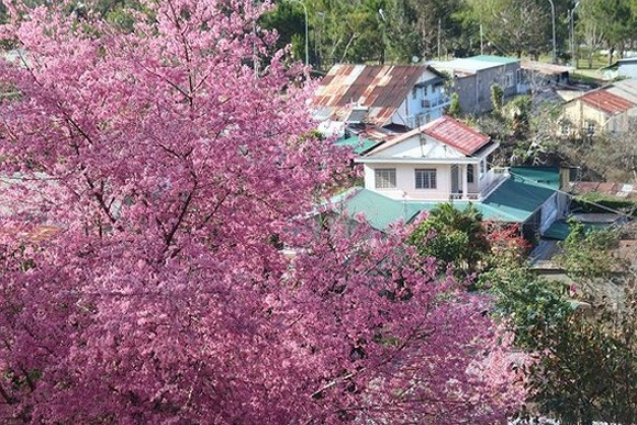 Da Lat's cherry blossom festival to start on January 20