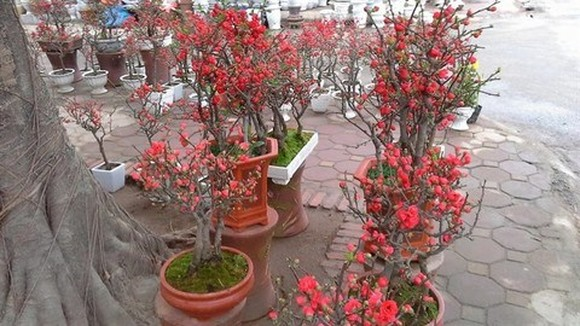 Red apricot blossom from Taiwan (File photo)