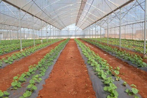 A clean vegetable cultivation model in Can Tho city (Photo: VNA)