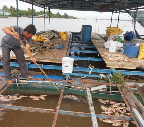 Nhiều bè cá trên sông Tiền chết chưa rõ nguyên nhân ảnh 1