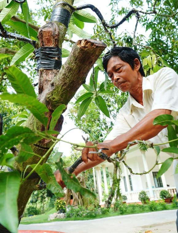 Đồng Tháp: Xoài bonsai cho lợi nhuận cao ảnh 1