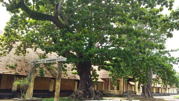 Phải bảo vệ cây cổ thụ nằm ngoài khu vực bảo vệ di tích