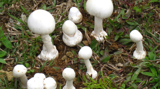 Ăn nấm trong vườn nhà, 13 người bị ngộ độc. Ảnh minh họa