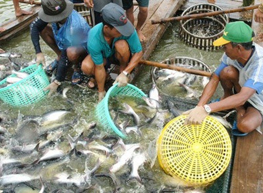 Pangasius price increase not attract farmers fearing fluctuations ảnh 2