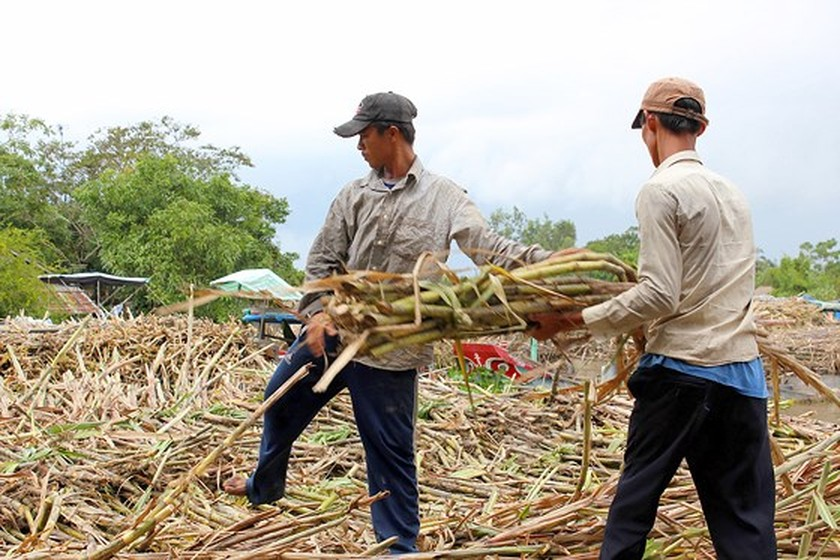 Sugar inventory recurs in Mekong Delta ảnh 1