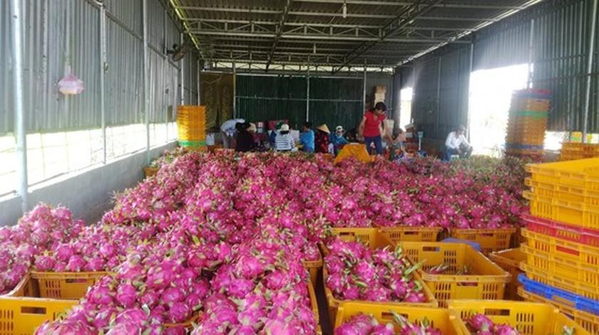 Scarcity rockets up dragon fruit prices in Binh Thuan province ảnh 1
